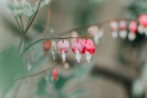 ©Katiewrites.co.uk Bleeding Hearts, Flowers, Heart, Suicide Awareness, Katie Writes Blog, Mental Health, Crisis, Katie Writes,