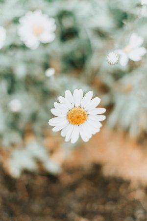 Daisy, Flowers, Katie Writes Blog, Katie Writes, ©Katiewrites.co.uk