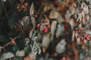 Frosty, Berries, Nature, Derbyshire, Bloggers, Photographers, katiebwrites, Katie Writes, KatieWritesUK, Katie Writes Blog, ©Katiewrites.co.uk