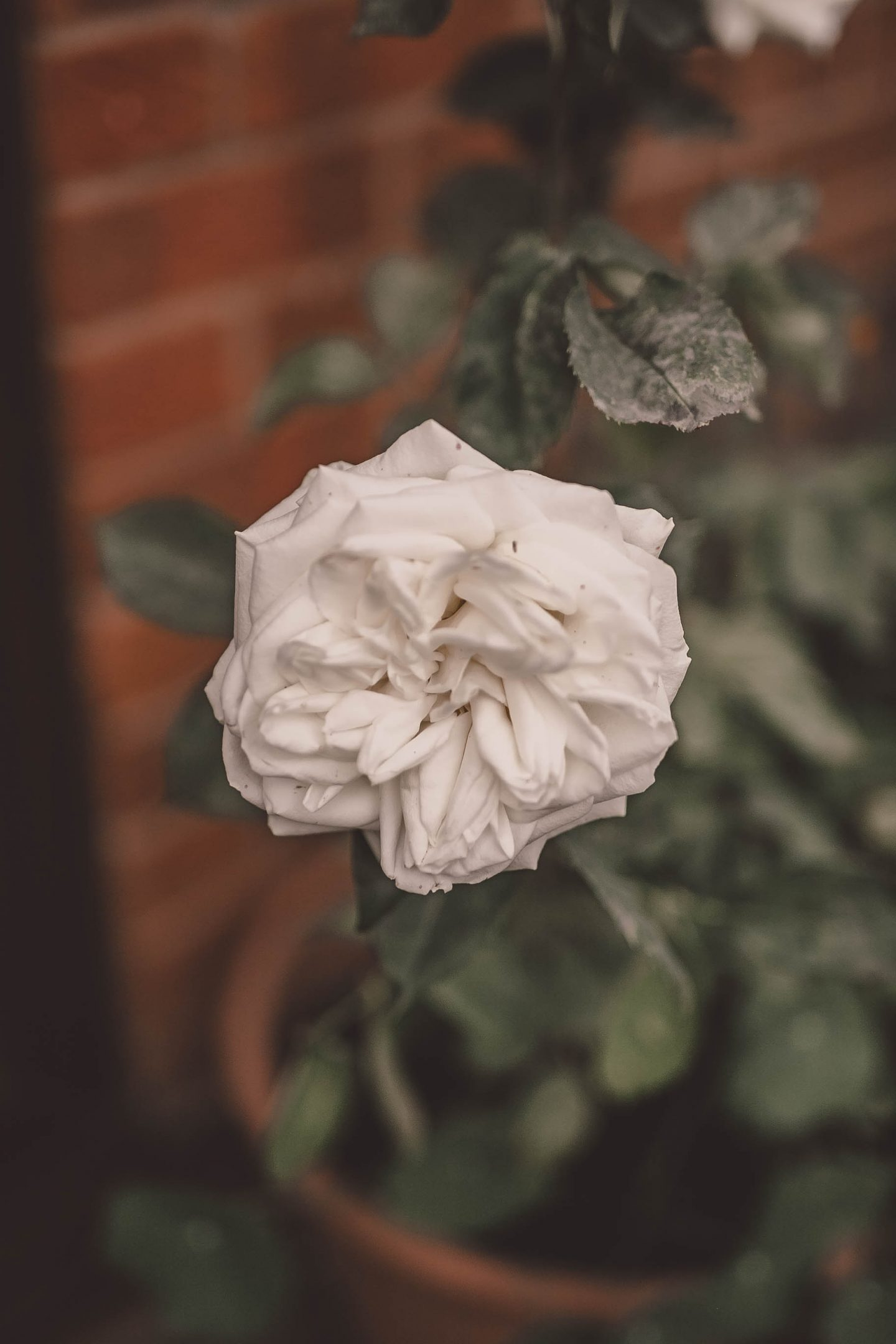 katiebwrites, Katie Writes Blog, Derbyshire Bloggers, White rose,